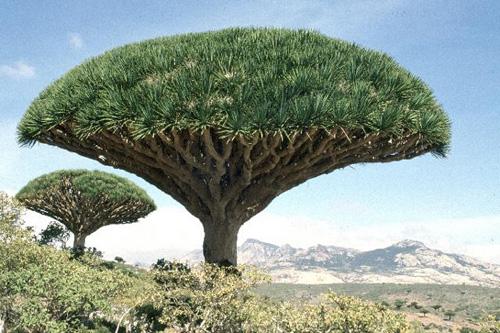 شجرة ( دم التنين ) و تعرف ايضاً ب ( دم الاخوين ) تعد من اجمل واغرب انواع الاشجار