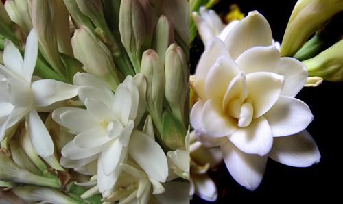 Piante rare e preziose prima parte for Pianta fiori di cera