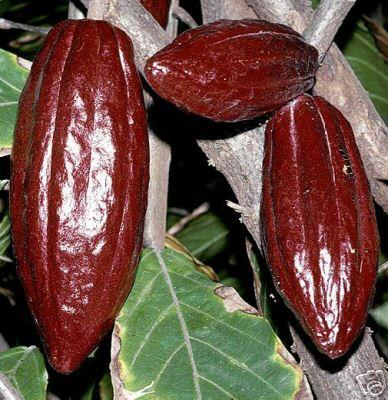 Frutti dell'albero del cacao (theobroma cocoa)