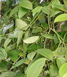 Il peperoncino il falso e il pepe for Pianta rampicante sempreverde