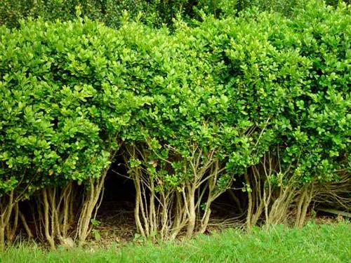 Bosso bonsai aq for Pianta di bosso prezzo