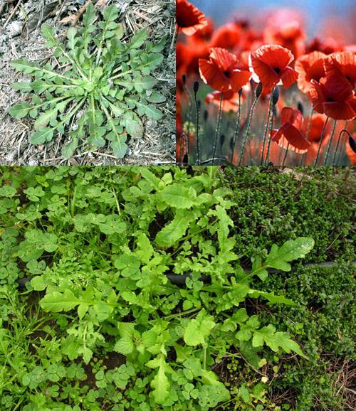 Le erbe primaverili commestibili for Radici commestibili