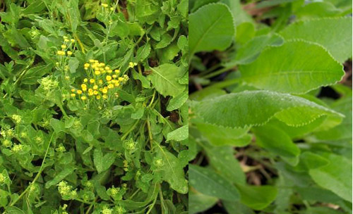 Le erbe primaverili commestibili for I fiori della balsamina