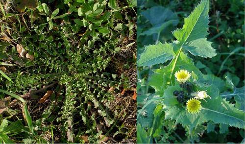Le erbe primaverili commestibili for Pianta con la p