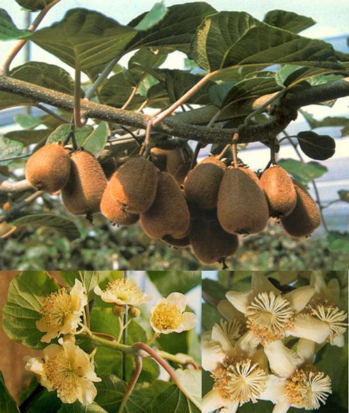 Piante e frutti tropicali in italia for Kiwi pianta