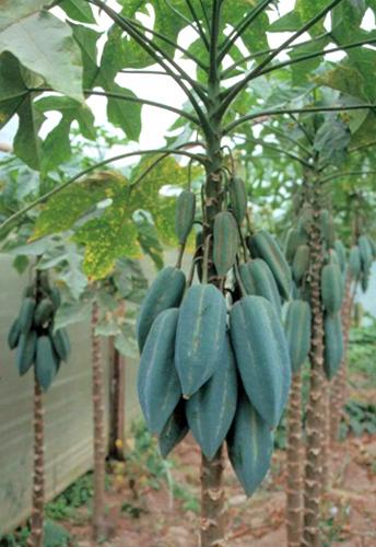 Piante e frutti tropicali in italia for Vendita piante da frutto tropicali