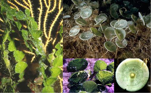 I fiori del mare halimeda tuna detta fico dindia marino una piccola alga comune nel mediterraneo e a fianco acetabularia acetabulum nota come ombrellini di mare thecheapjerseys Choice Image