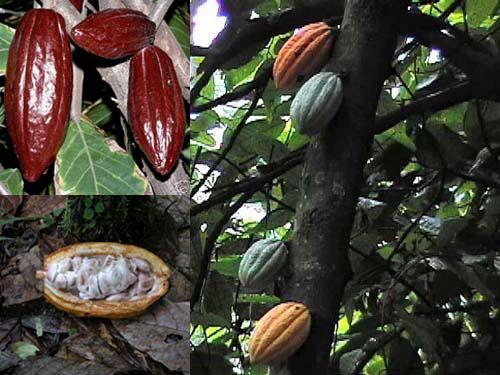 Piante Di Cacao : Piante e animali di lemuria cronache viaggio seconda