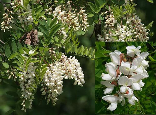 Le ricorrenze delle piante for Pianta rampicante con fiori viola a grappolo