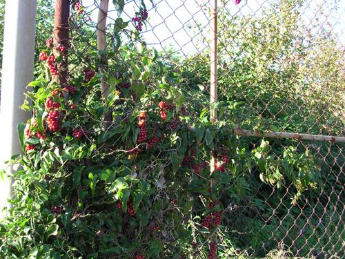 Riprendiamoci l autunno for Bacche rosse nomi
